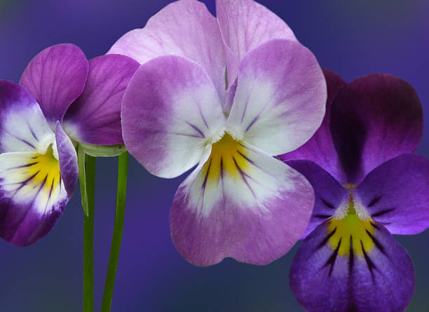 Violet Flowers Trio stock photo