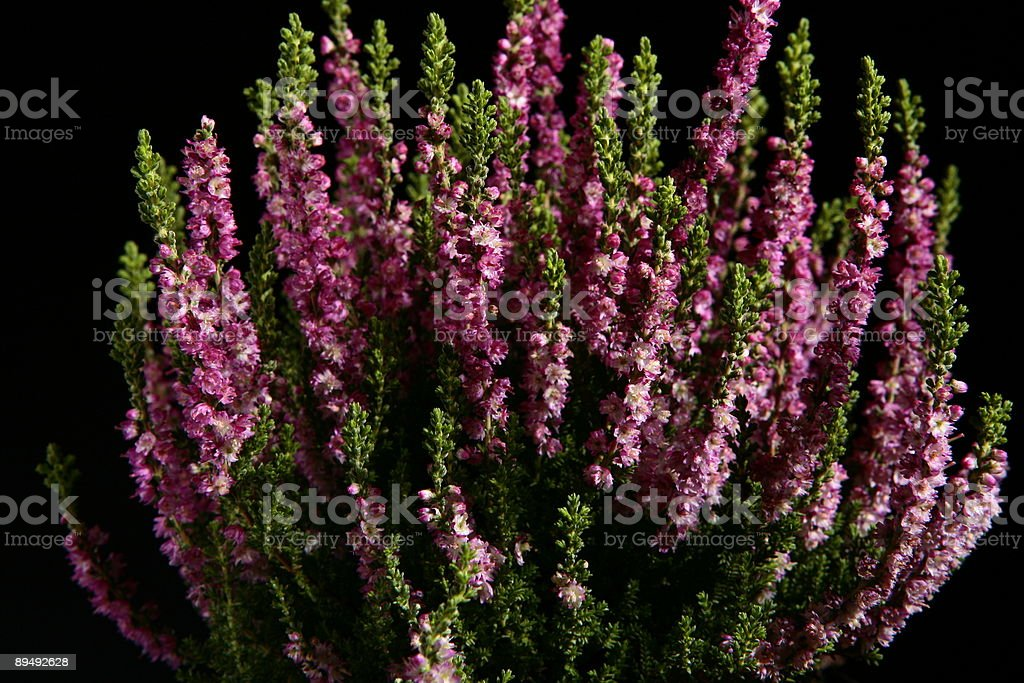 violet heather on black background stock photo
