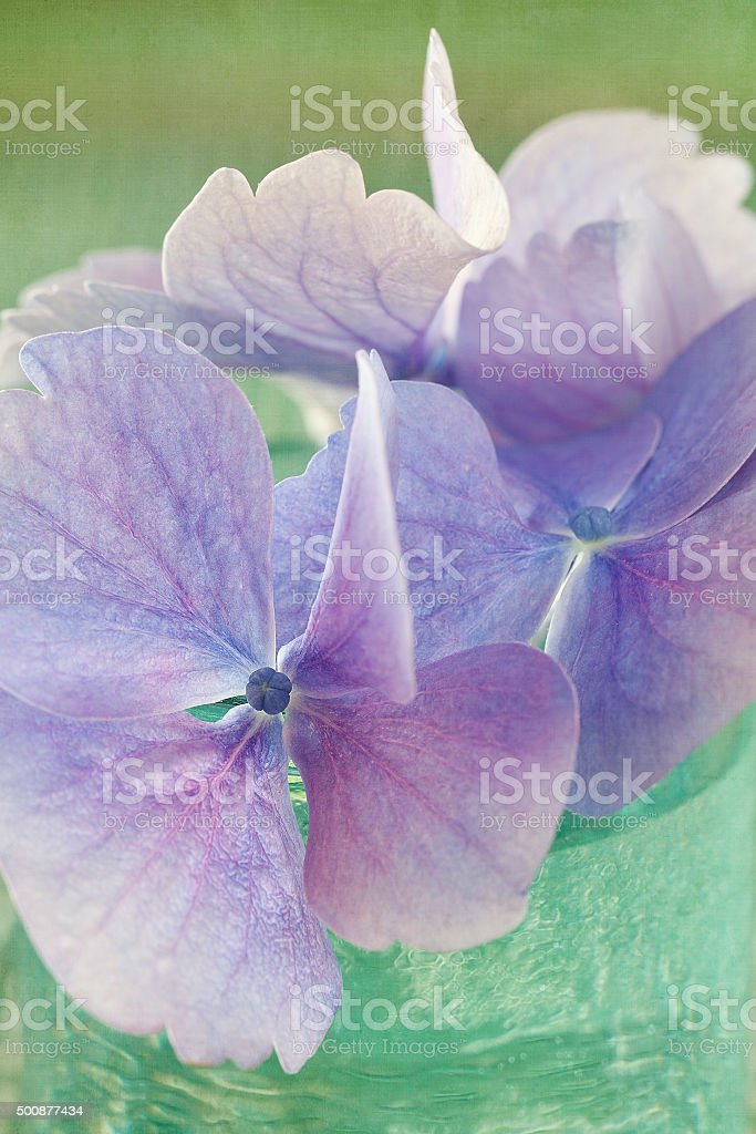 violet Hortensie Blumen Lizenzfreies stock-foto
