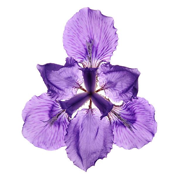 violet iris flower - iris flower stock photos and pictures