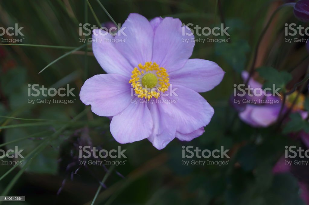 Violet Japanese anemone flowers stock photo