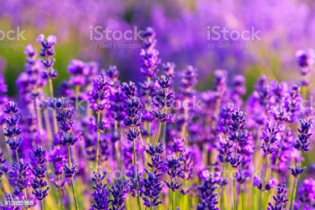 Violet lavender field picture id913685988?b=1&k=6&m=913685988&s=612x612&h=8jphvpvnqsmoscahvahbjungprrrydvfexfiuvl3idw=