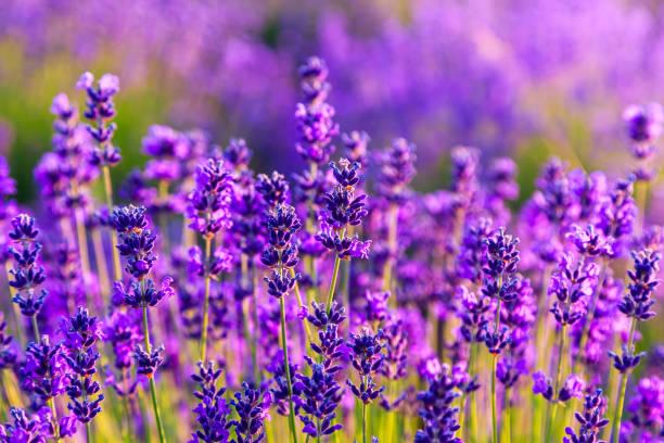paarse lavendel veld - lavendel stockfoto's en -beelden