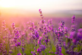 istock violet lavender field 941005950