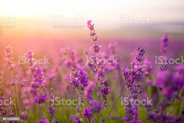 Violet lavender field picture id941005950?b=1&k=6&m=941005950&s=612x612&h=6cddihrkhxbcee pzuarlj0s8sksne75 ogg ahbbtw=