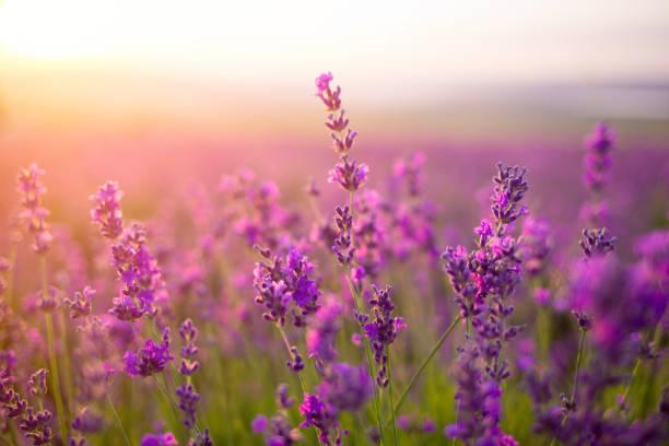 Violet lavender field picture id941005950?b=1&k=6&m=941005950&s=612x612&w=0&h=0lundzqxfxbiljb9l8dsvukujytpiqyzaijiwqhcwes=