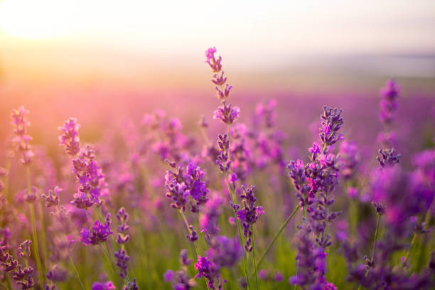 violet lavender field stock photo