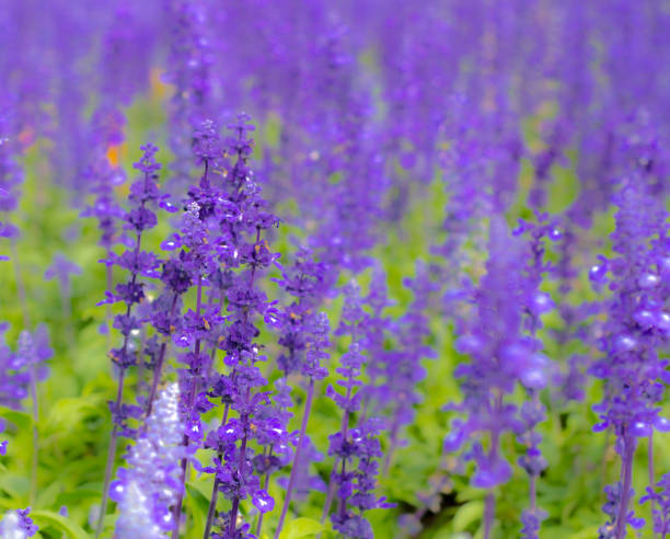 violet lavender stock photo