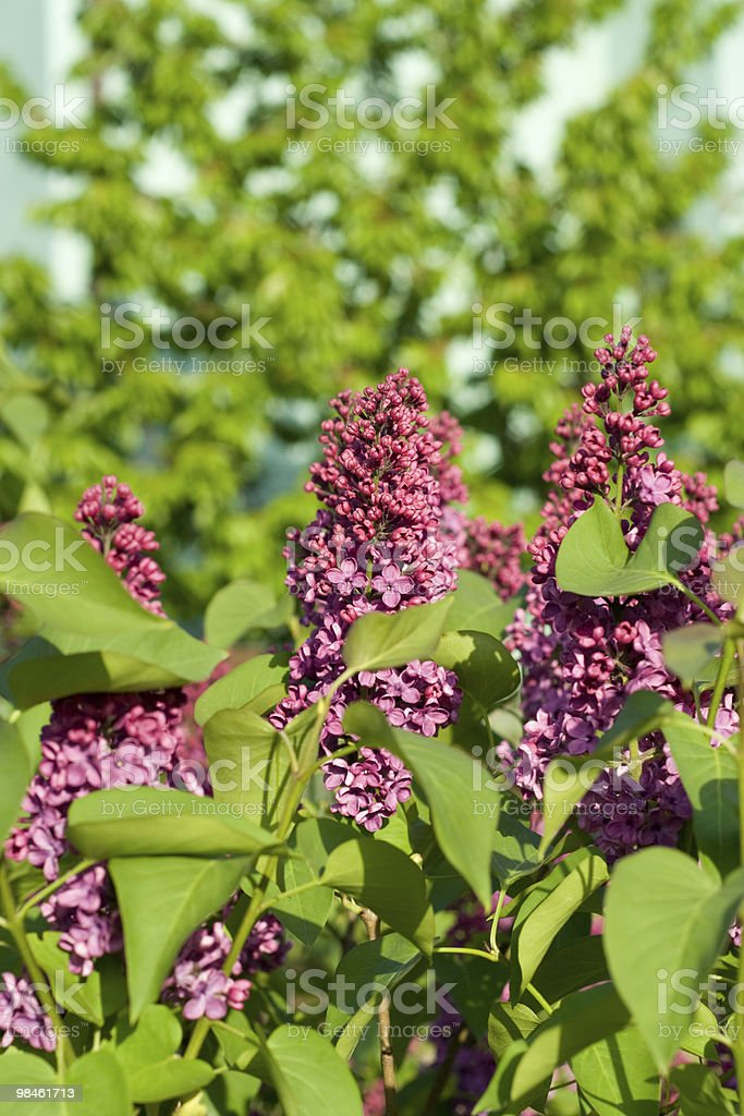 violet lilac flower royalty-free stock photo