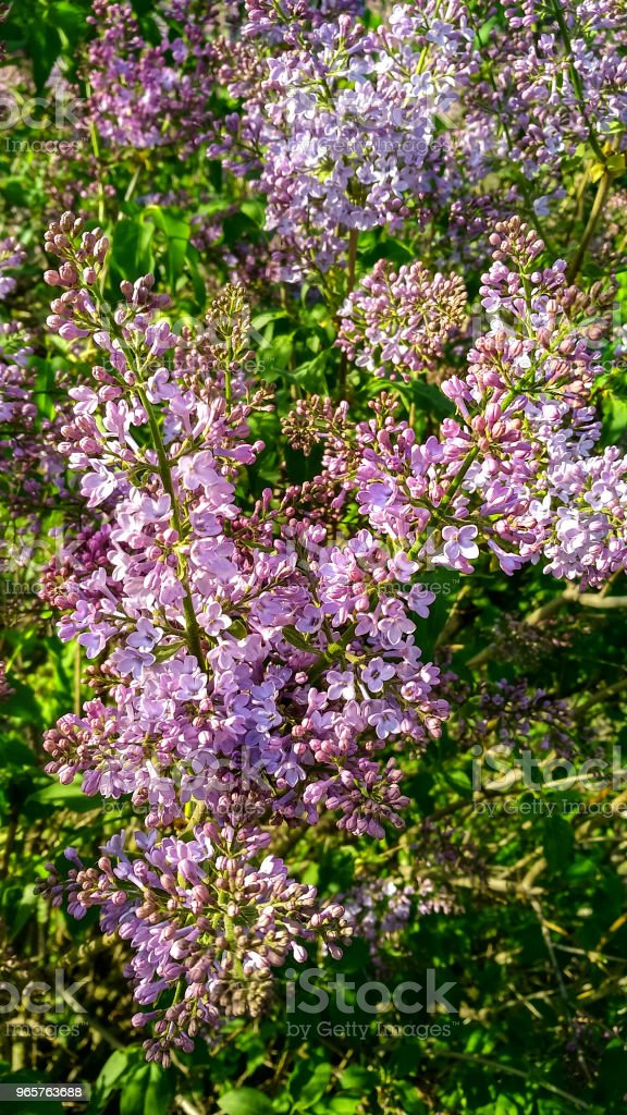 Violet lilac with green leaves - Royalty-free Aromatherapy Stock Photo