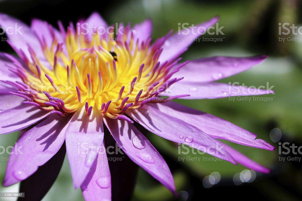 Violet lotus flower blooming. royalty-free stock photo