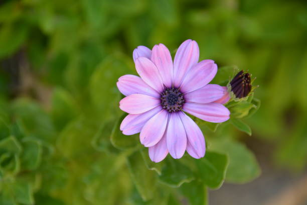 Margarita violeta - foto de stock