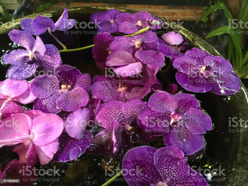 Violet moth orchid flowers in ceramic bowl stock photo