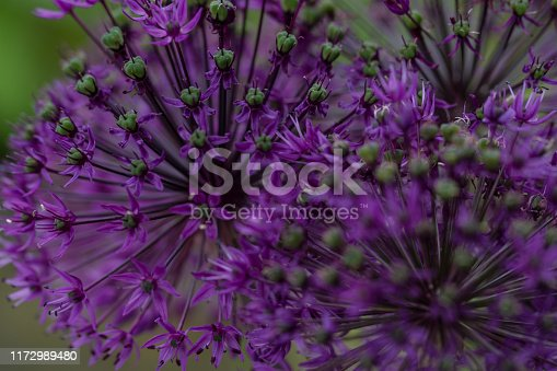 violet onion blossom, close-up