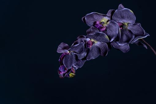 Violet orchid flower on black background close up