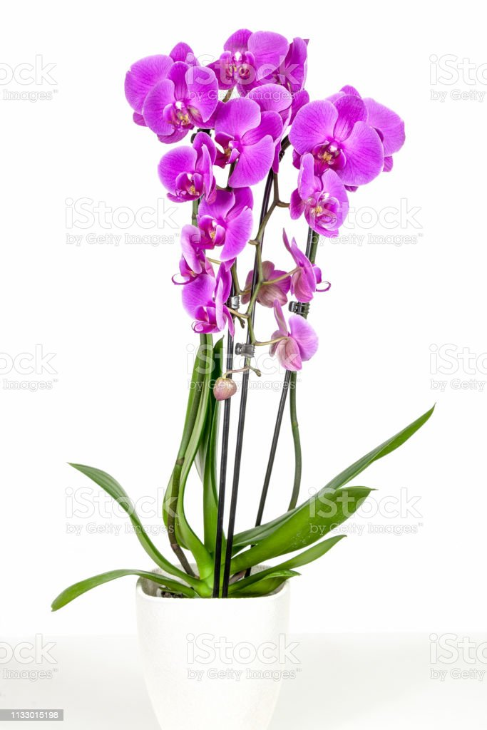 Violet orchid in flowerpot stock photo