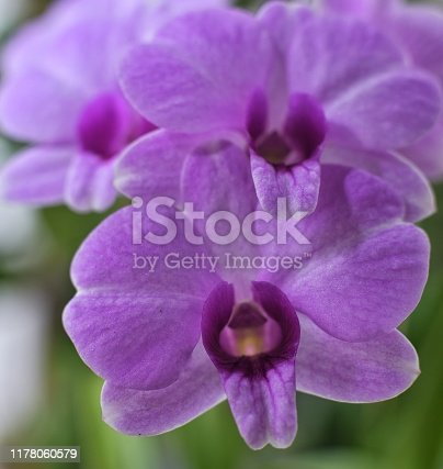 Natural  violet orchid with green leaf.