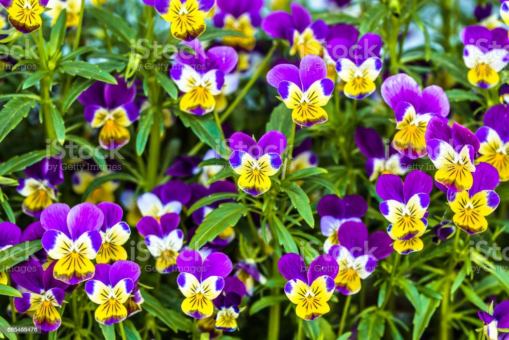 Violet pansy flower in the spring garden foto de stock royalty-free