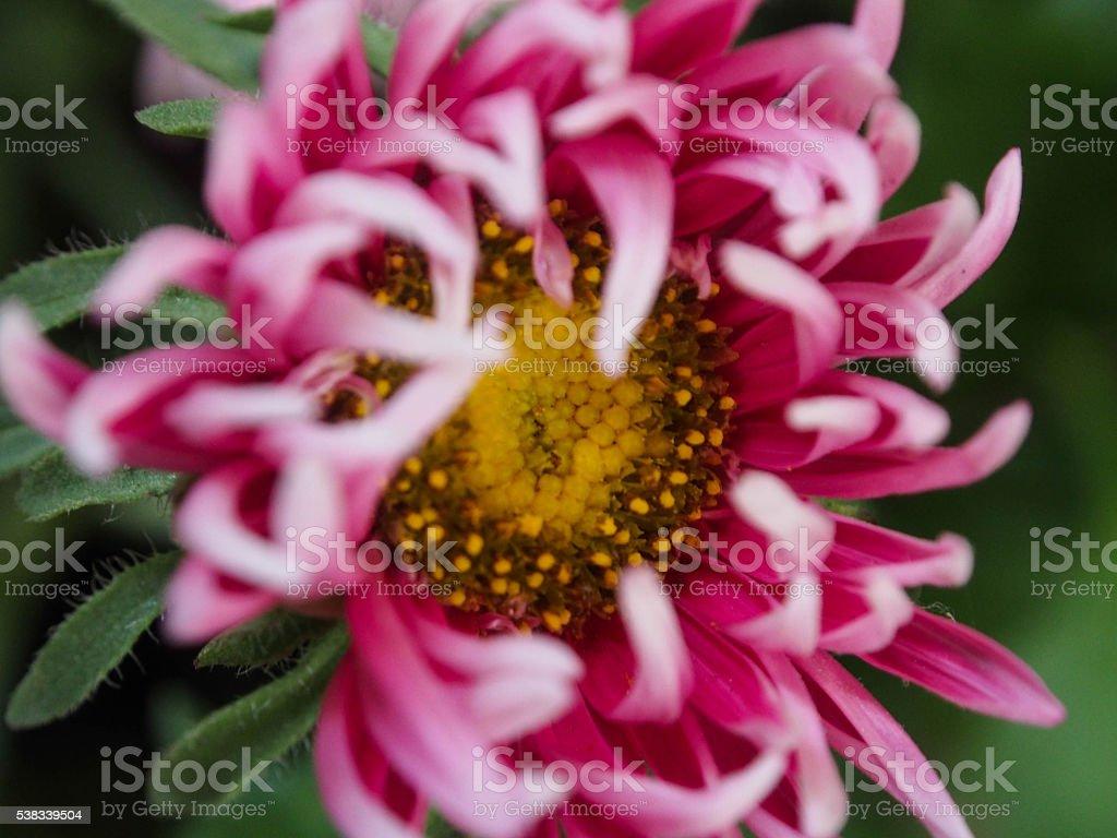 Violet Petals stock photo