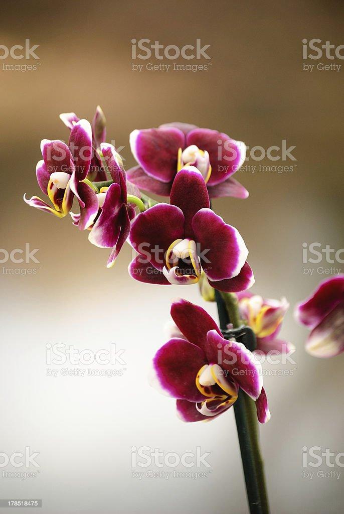 Violet phalaenopsis royalty-free stock photo