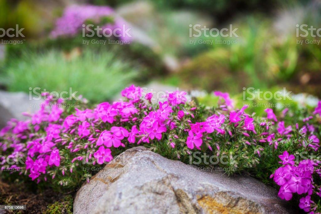 Violette Phlox Blumen für den Steingarten, Natur Hintergrund – Foto