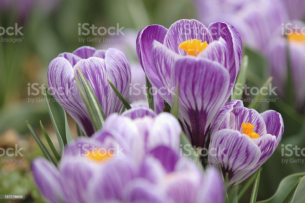 Violet royalty-free stock photo