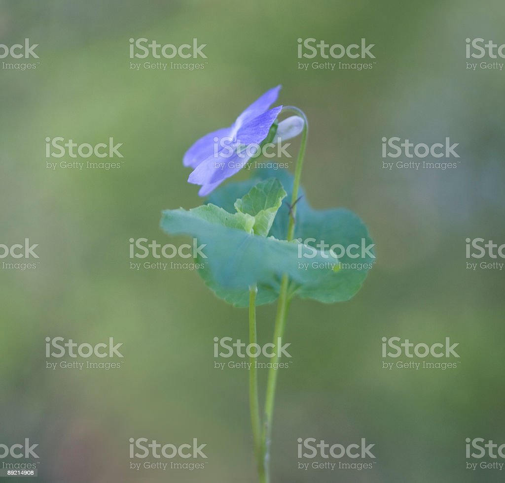 violet royalty-free stock photo