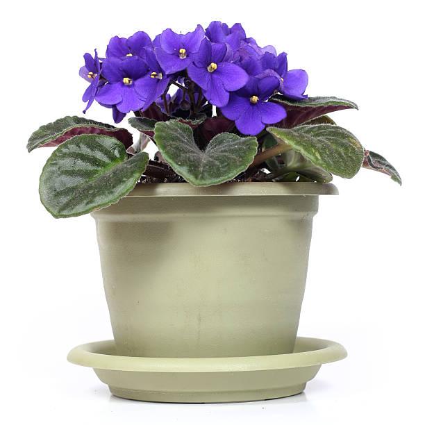 violet stock photo
