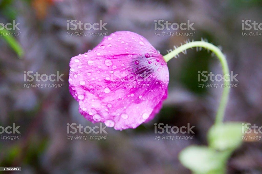 violett Mohn mit Tautropfen – Foto