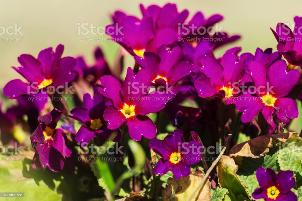 Violet primrose flowers (Primula vulgaris) stock photo