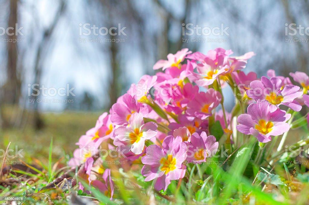 Violet Primroses stock photo
