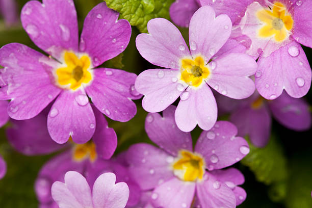 violet primula with raindrops violet primula with raindrops primula stock pictures, royalty-free photos & images