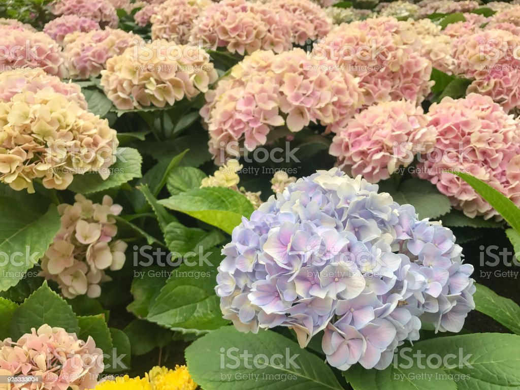 Violet Purple Hydrangea in the gerden stock photo