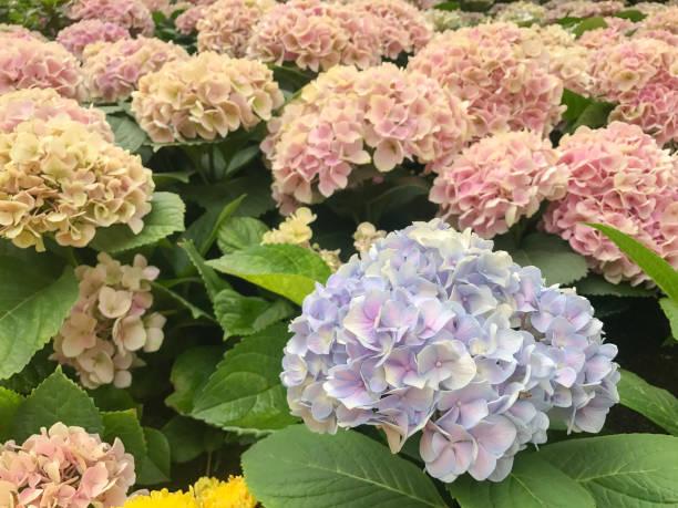 Violet Purple Hydrangea in the gerden stock photo