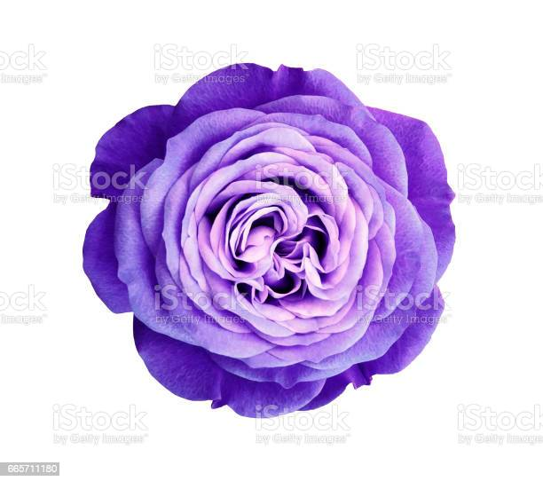 Violet rose flower white isolated background with clipping path no picture id665711180?b=1&k=6&m=665711180&s=612x612&h=gbkfmqgettgnfu3u60 ajwo3v0gp1i9jjicyoqmvmzw=