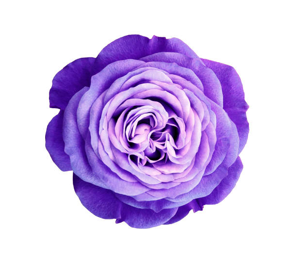 Violet rose flower white isolated background with clipping path no picture id665711180?b=1&k=6&m=665711180&s=612x612&w=0&h=ehx1i yqm7ya1i3l0zjdrhvdith5ai3w phrwtbgqp0=