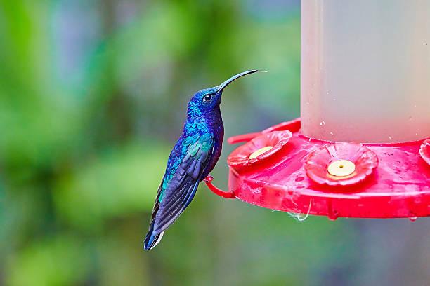 Violet sabrewing (Campylopterus hemileucurus), hummingbird, Costa Rica stock photo