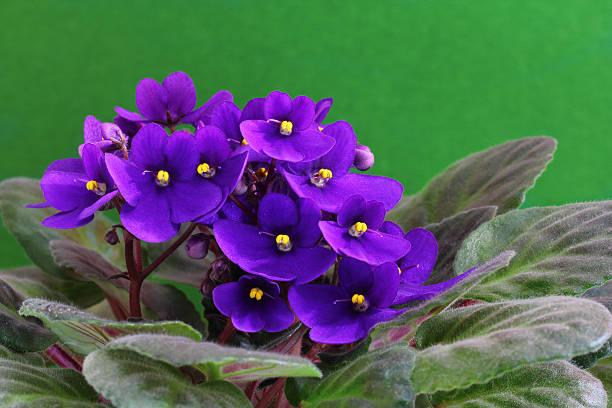 Violet saintpaulia stock photo