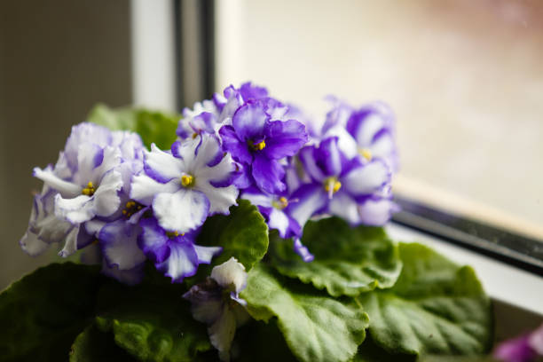 Violet saintpaulias flowers commonly known as african violets parma violets close up isolated stock photo