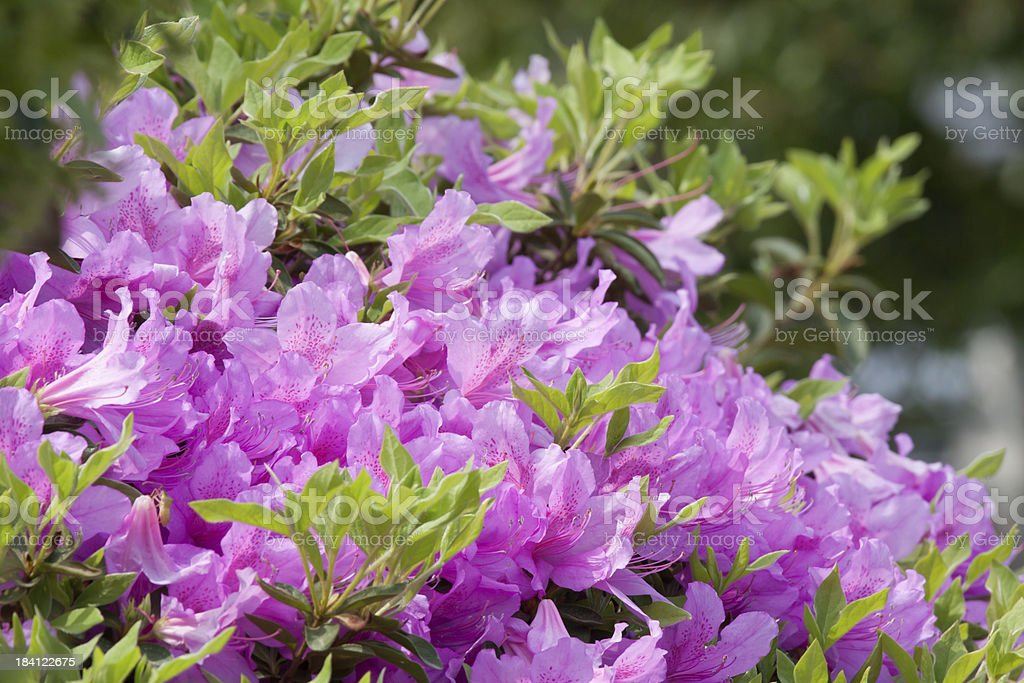 Violet Scarlet Azalea bush stock photo