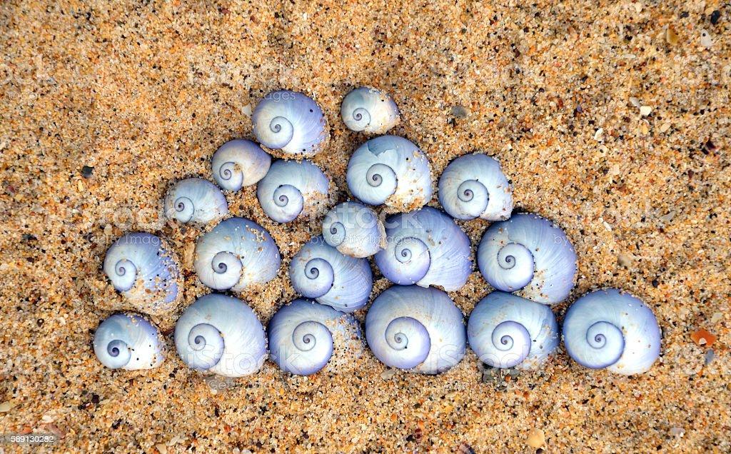 Violet Sea Snail shells (Janthina janthina) stock photo
