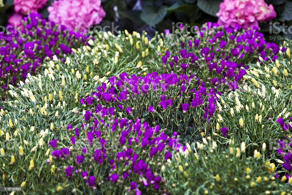 Violet Slipper Flower. Color Image royalty-free stock photo