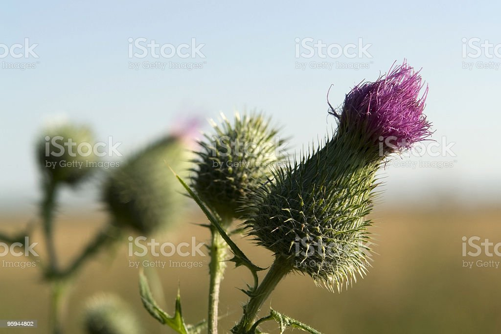 violet thistle flowers royalty-free stock photo