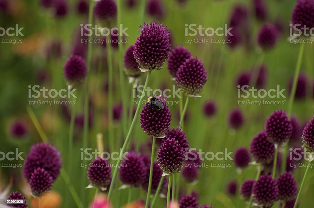 Violet Thistle royalty-free stock photo