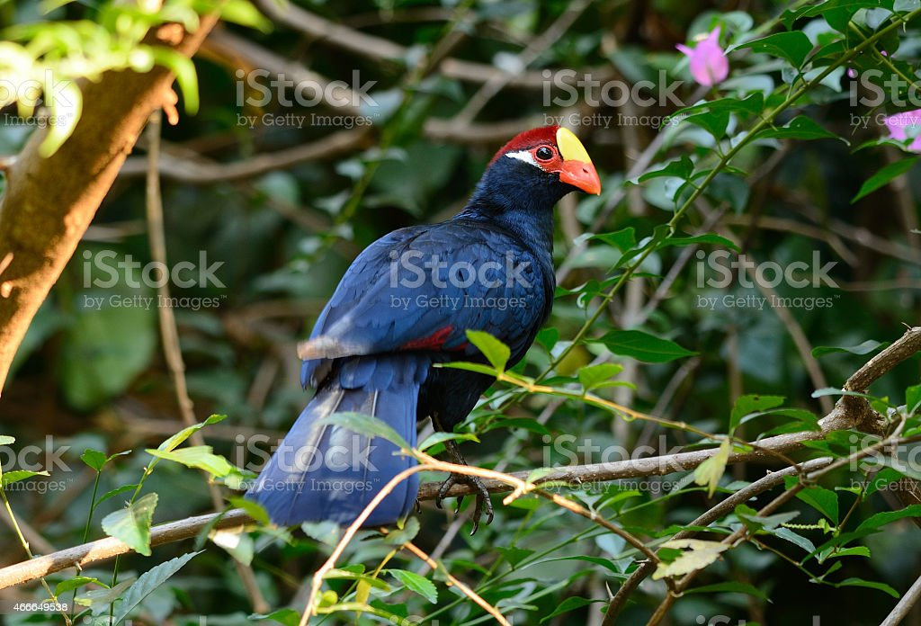 Violet Turaco (Musophaga violacea) stock photo