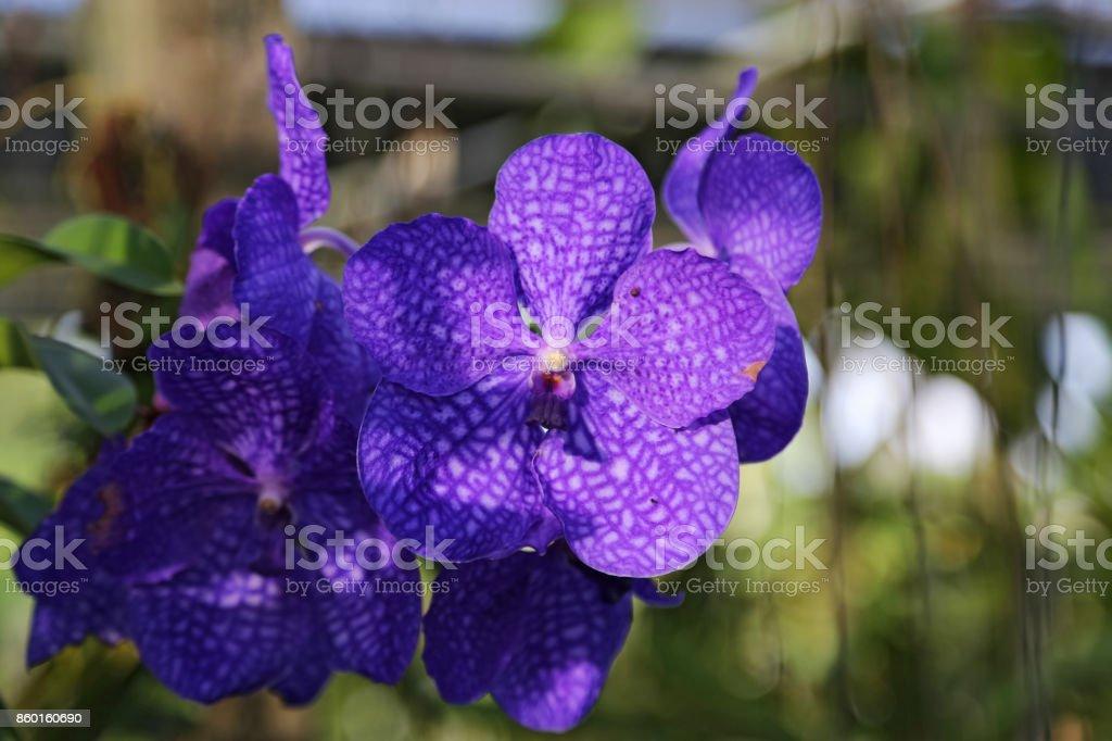 Violet Vanda orchid flowers. stock photo