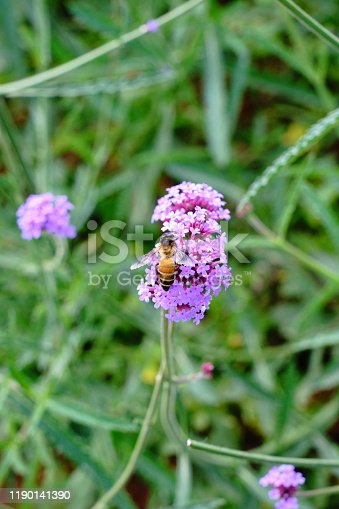 Vervain plant in blossom