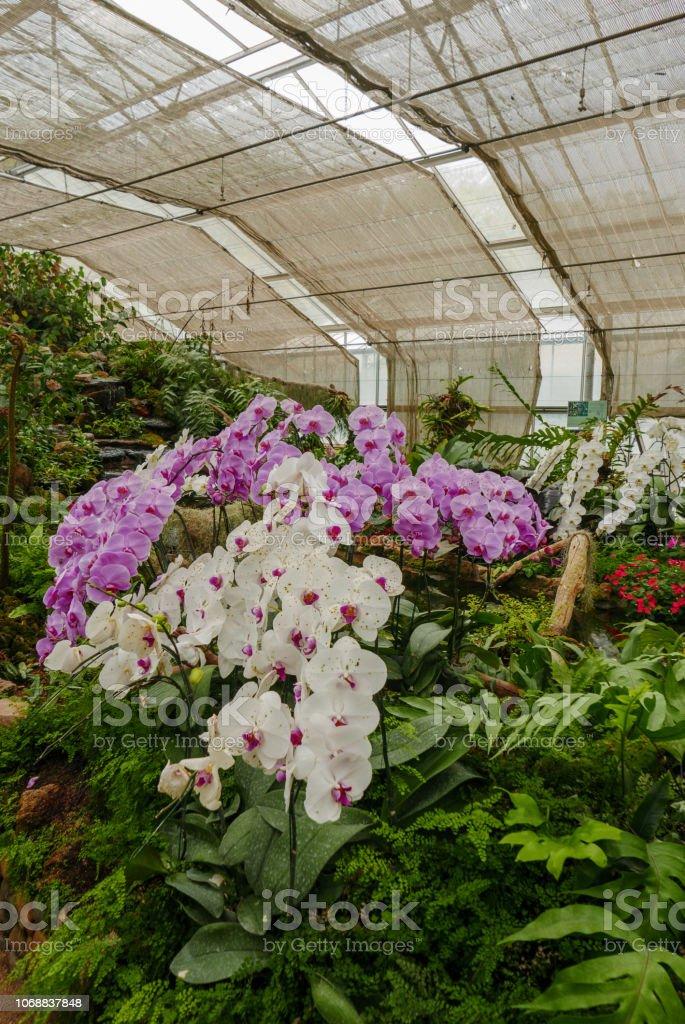 Photo libre de droit de Violet Orchidée Blanche Dans Un ...