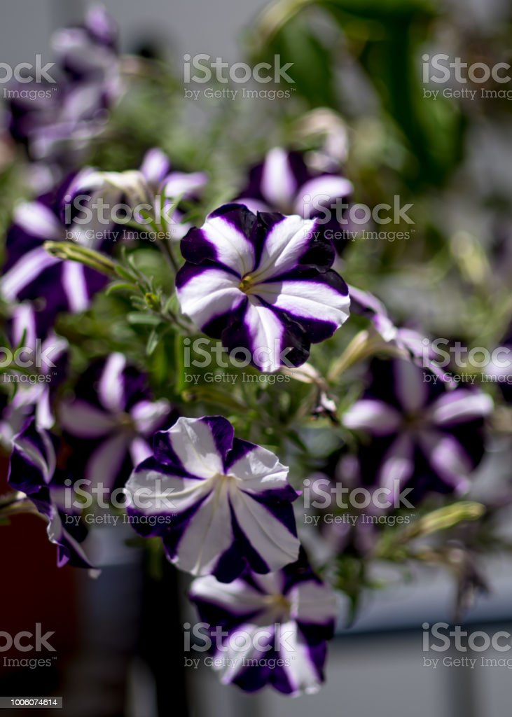 Violet white pelargonium - flowers on the terrace stock photo