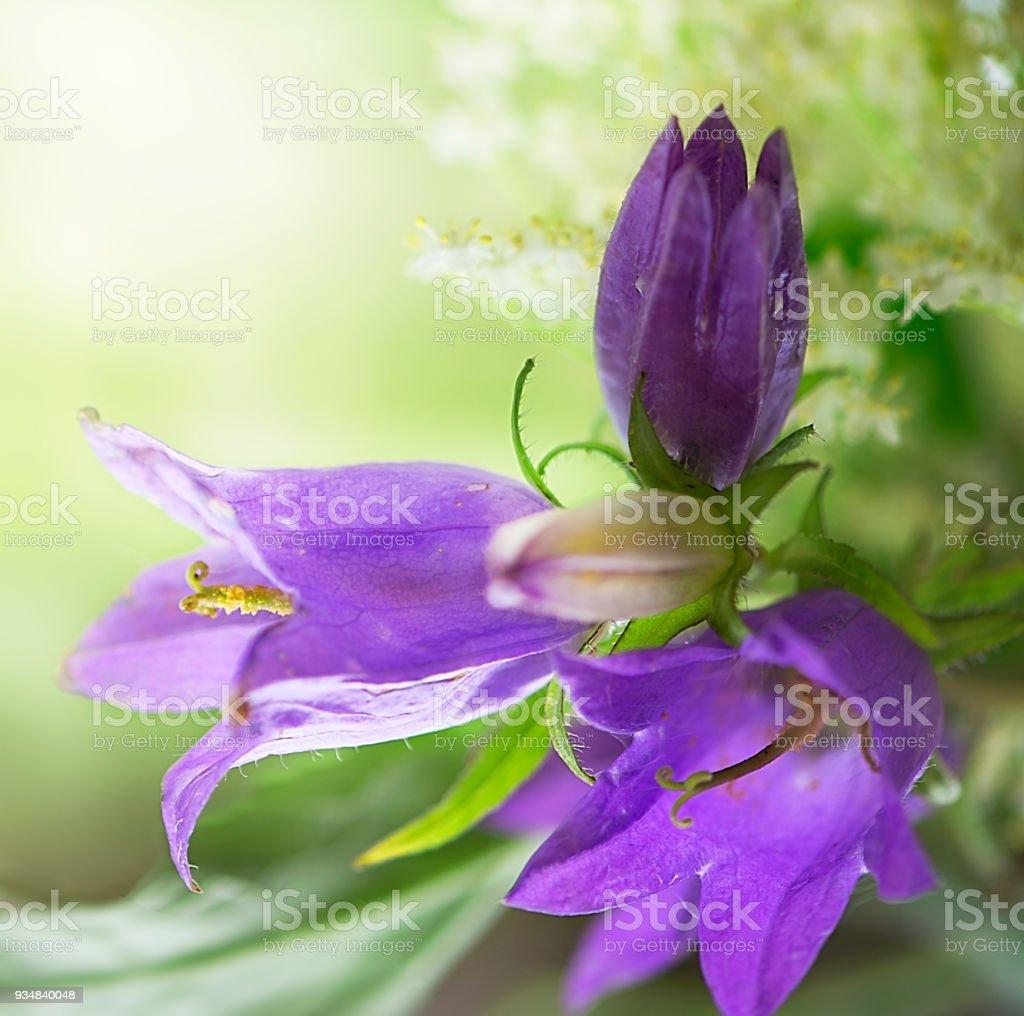 보라색 야생화 - 로열티 프리 0명 스톡 사진
